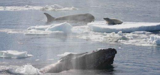 01humpbackwhales.adapt.590.1
