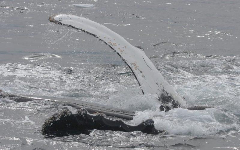 02humpbackwhales.adapt.1190.1