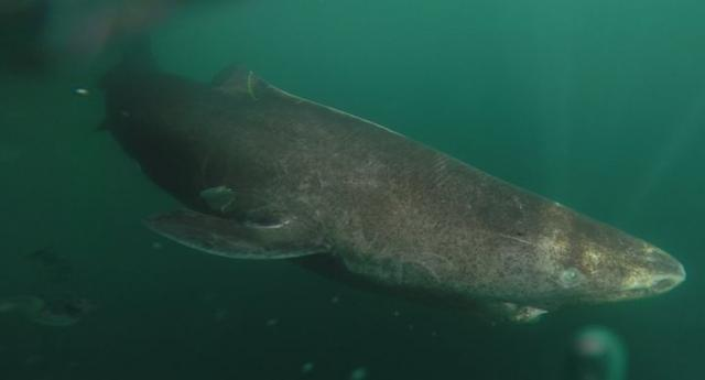 small-greenland-shark