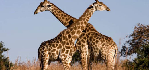 giraffe_ithala_kzn_south_africa_luca_galuzzi_2004-650x433