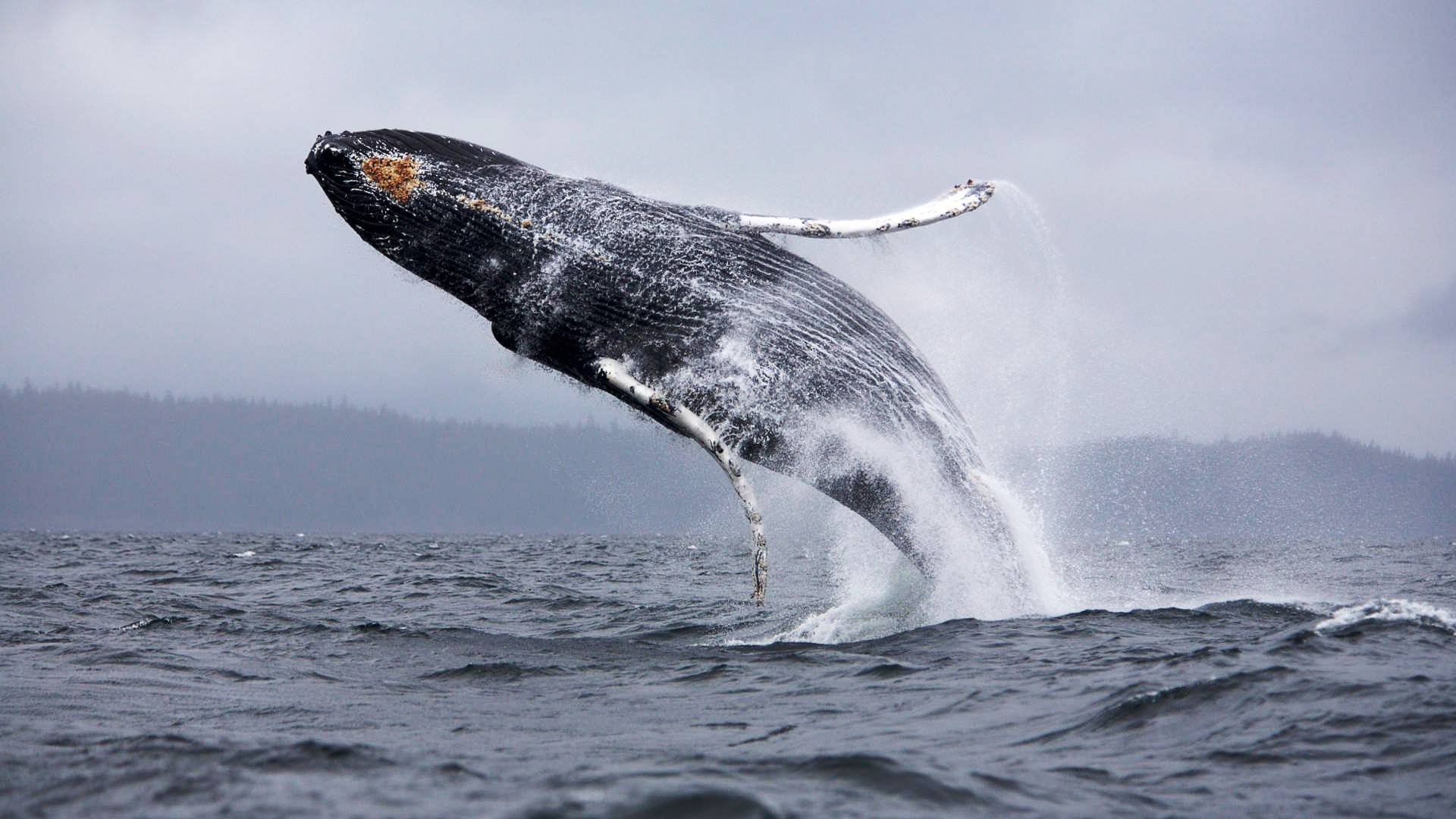 animals_under_water_jump_whale_041835_