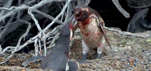 draka-pingvinov