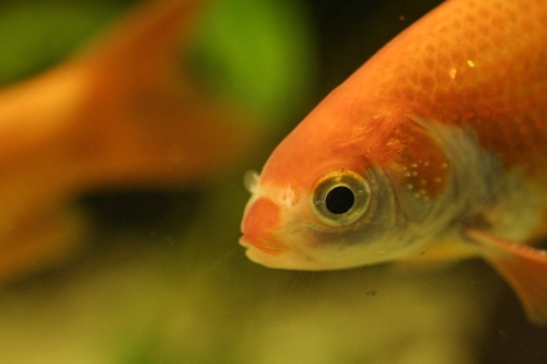 Goldfish can survive without oxygen due to alcohol earth for What fish can live with goldfish in a pond