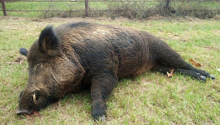 The American shot and killed a giant boar that had been ...