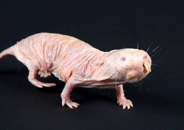 Naked Mole Rats Will Be The Key To The Immortality Of Man Earth Chronicles News