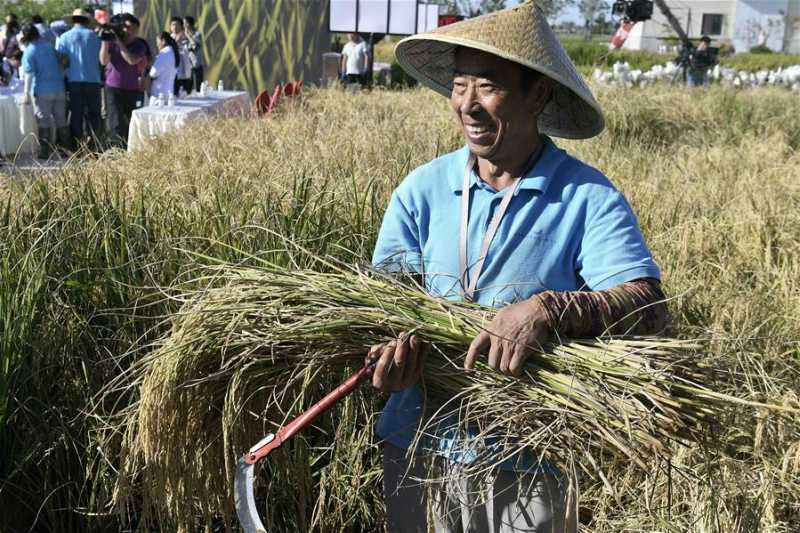 Chinese Learned To Grow Rice In Salt Water Earth